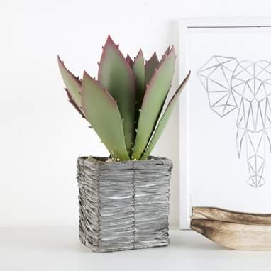 Xana aloe eva plant