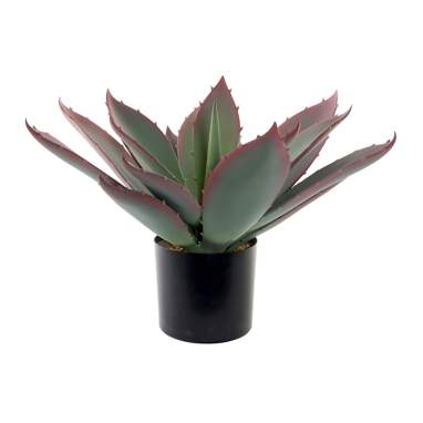 Thir pianta cactus verde