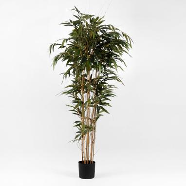 Dary bamboo green plant