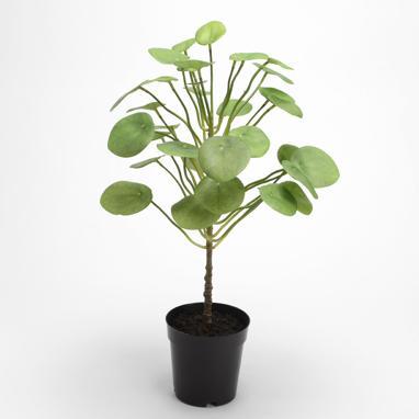 Zase vaso pianta
