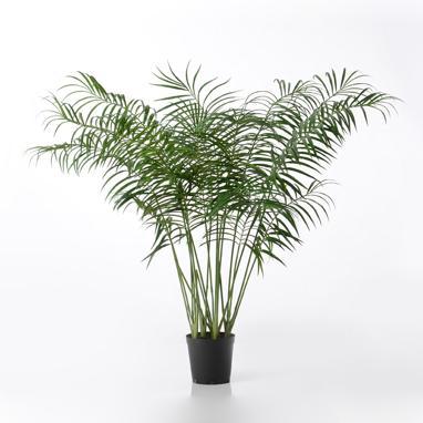 Poek palmera areca h200