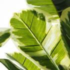Pell planta pvc 175c